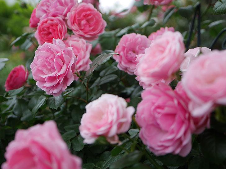 ポンポネッラ(Pomponella)の花が綺麗に咲いた。半ツルバラ。2020年-046.jpg