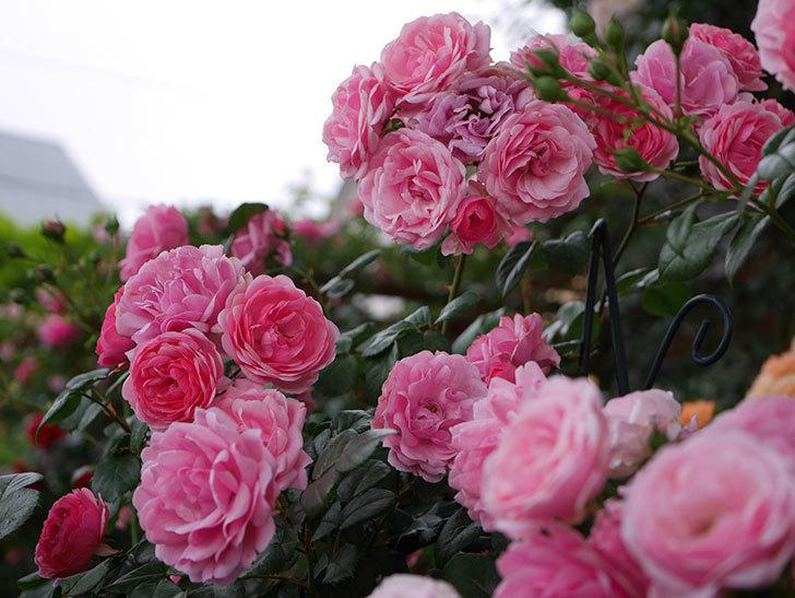 ポンポネッラ(Pomponella)の花が綺麗に咲いた。半ツルバラ。2020年-047.jpg