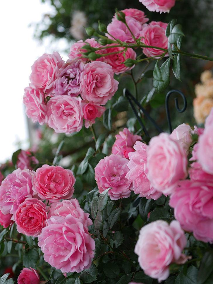 ポンポネッラ(Pomponella)の花が綺麗に咲いた。半ツルバラ。2020年-048.jpg