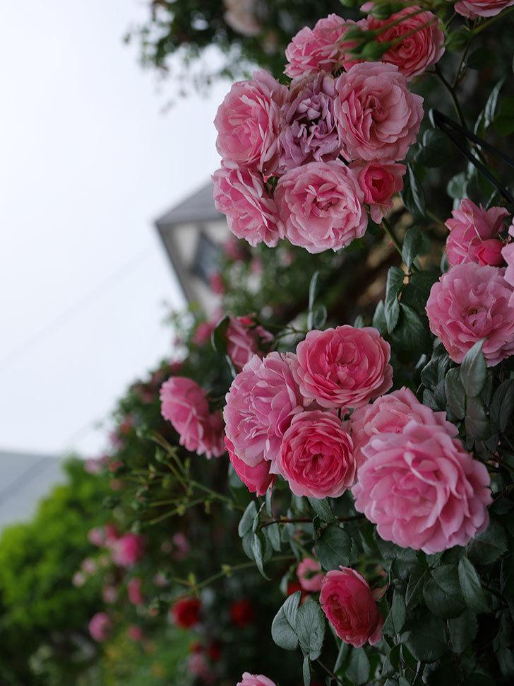 ポンポネッラ(Pomponella)の花が綺麗に咲いた。半ツルバラ。2020年-049.jpg