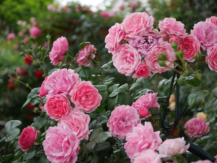 ポンポネッラ(Pomponella)の花が綺麗に咲いた。半ツルバラ。2020年-050.jpg