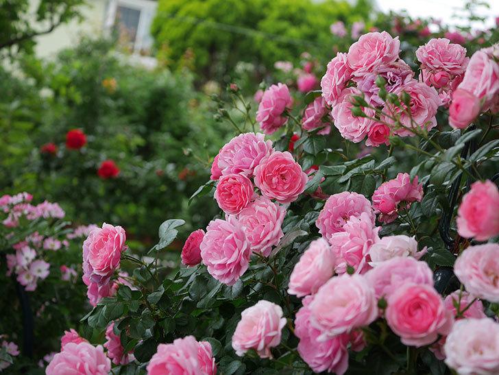 ポンポネッラ(Pomponella)の花が綺麗に咲いた。半ツルバラ。2020年-051.jpg