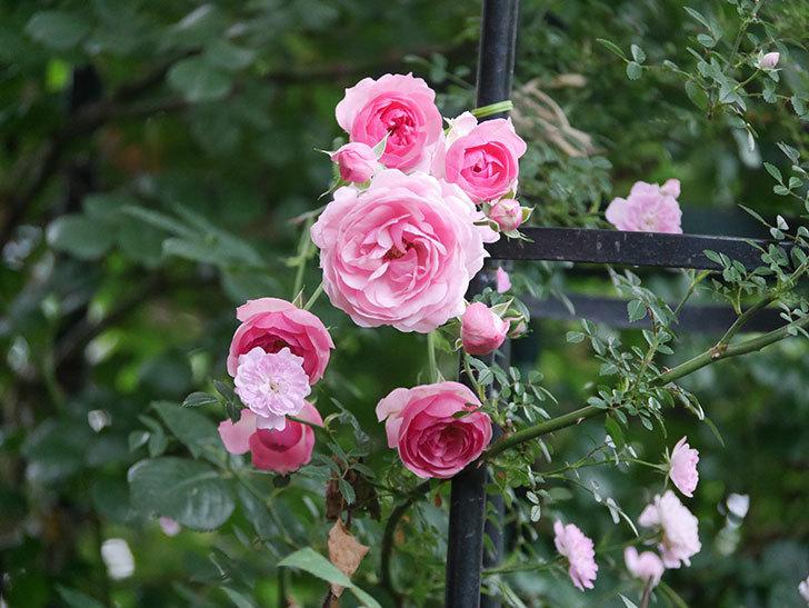 ポンポネッラ(Pomponella)の花が綺麗に咲いた。半ツルバラ。2020年-052.jpg
