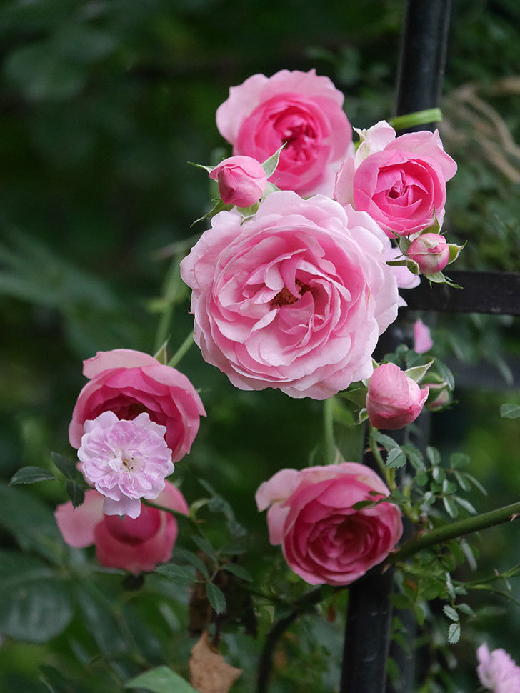 ポンポネッラ(Pomponella)の花が綺麗に咲いた。半ツルバラ。2020年-053.jpg