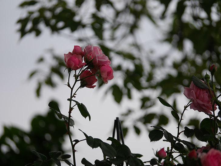 ポンポネッラ(Pomponella)の花が綺麗に咲いた。半ツルバラ。2020年-054.jpg