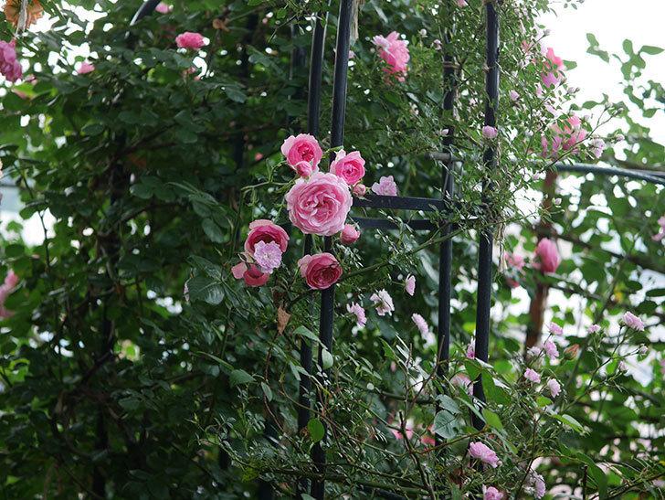 ポンポネッラ(Pomponella)の花が綺麗に咲いた。半ツルバラ。2020年-055.jpg