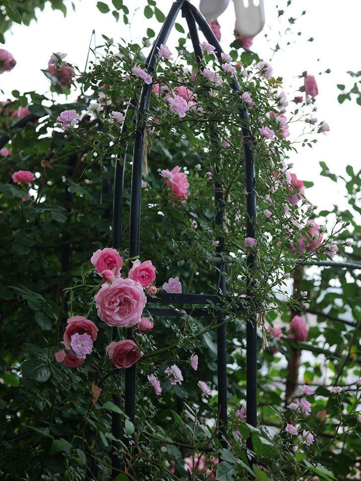 ポンポネッラ(Pomponella)の花が綺麗に咲いた。半ツルバラ。2020年-056.jpg
