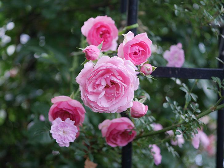 ポンポネッラ(Pomponella)の花が綺麗に咲いた。半ツルバラ。2020年-057.jpg