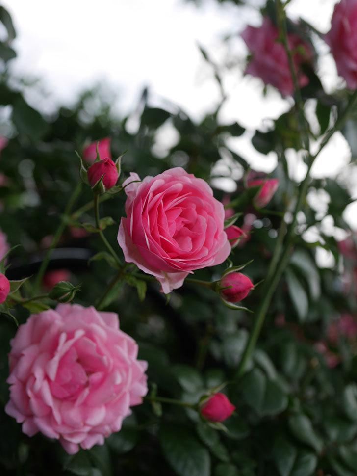 ポンポネッラ(Pomponella)の花が綺麗に咲いた。半ツルバラ。2020年-058.jpg