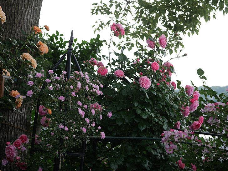ポンポネッラ(Pomponella)の花が綺麗に咲いた。半ツルバラ。2020年-059.jpg