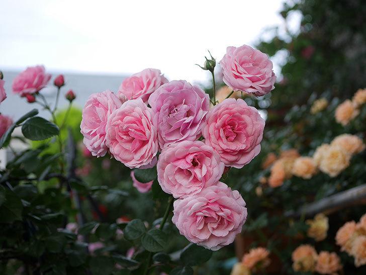 ポンポネッラ(Pomponella)の花が綺麗に咲いた。半ツルバラ。2020年-060.jpg
