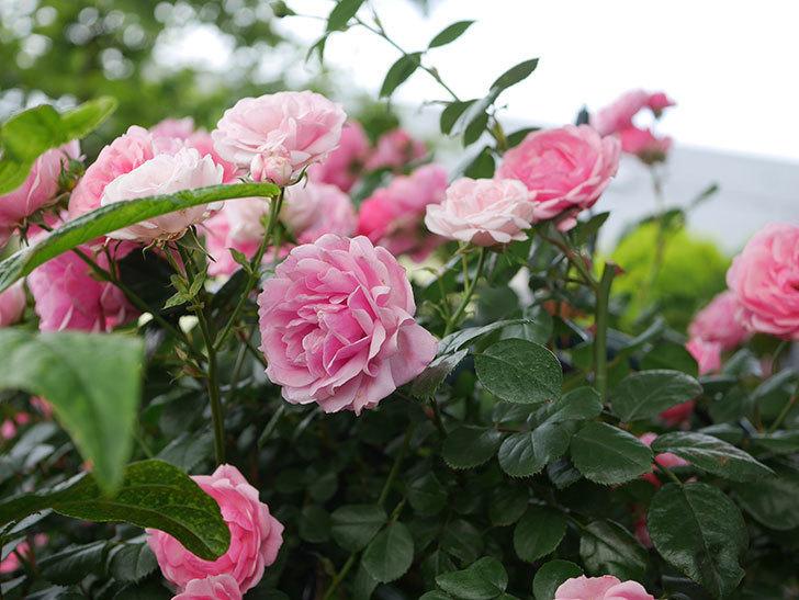 ポンポネッラ(Pomponella)の花が綺麗に咲いた。半ツルバラ。2020年-061.jpg