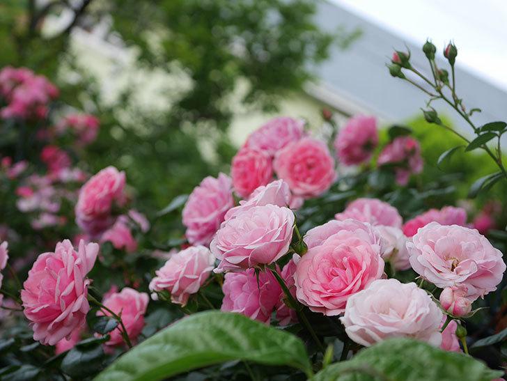 ポンポネッラ(Pomponella)の花が綺麗に咲いた。半ツルバラ。2020年-062.jpg