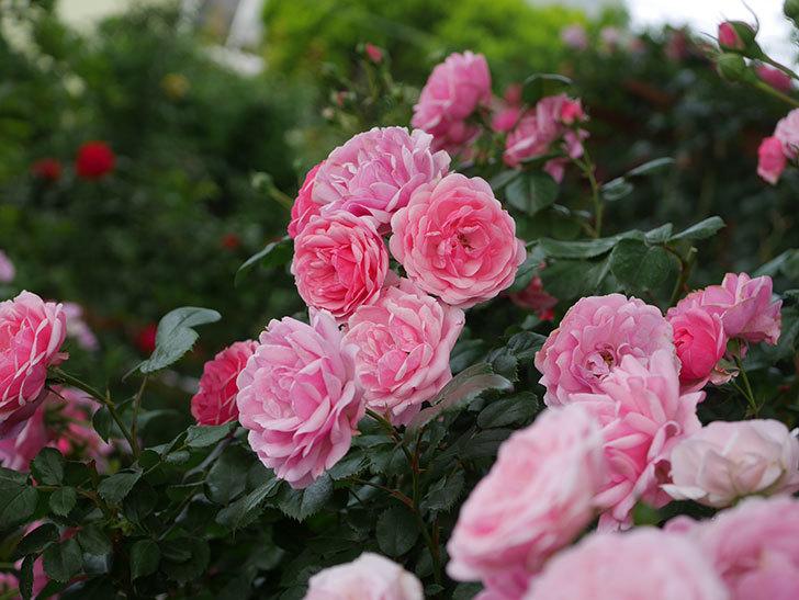 ポンポネッラ(Pomponella)の花が綺麗に咲いた。半ツルバラ。2020年-063.jpg