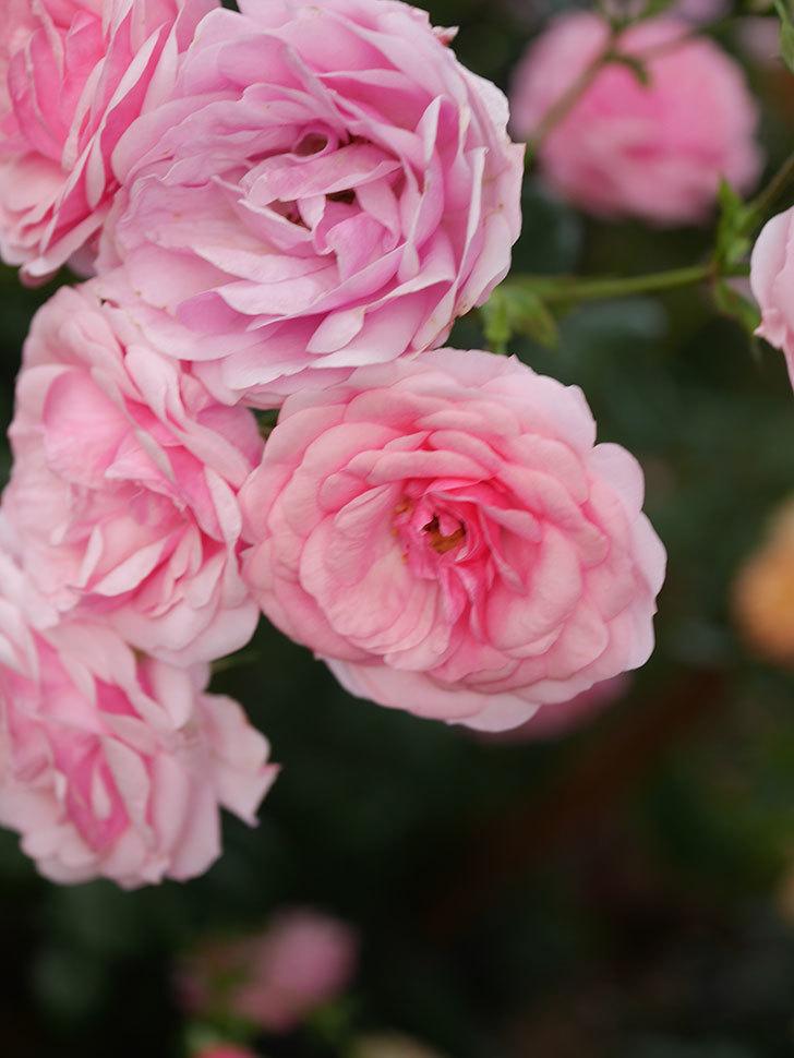 ポンポネッラ(Pomponella)の花が綺麗に咲いた。半ツルバラ。2020年-064.jpg
