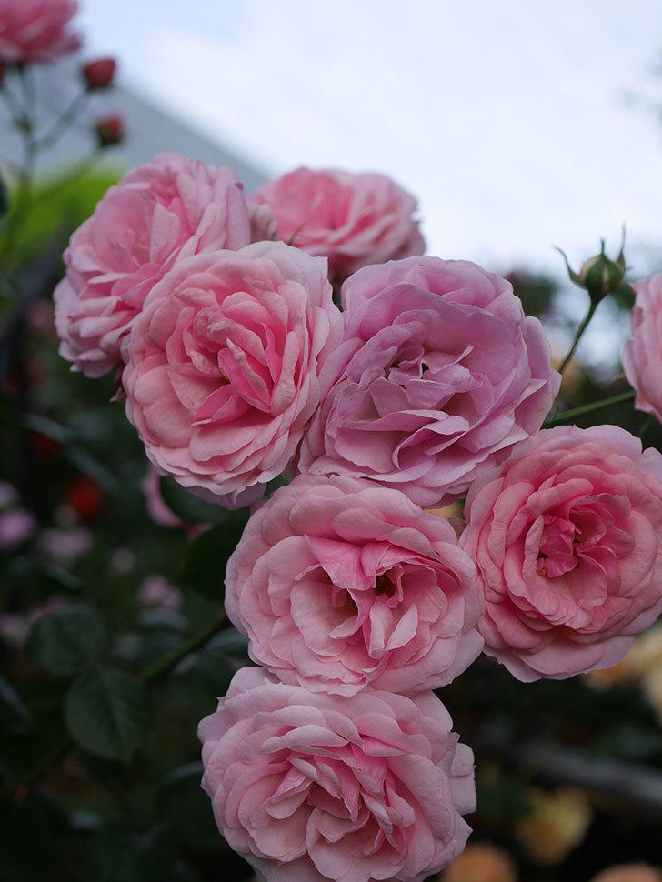 ポンポネッラ(Pomponella)の花が綺麗に咲いた。半ツルバラ。2020年-066.jpg