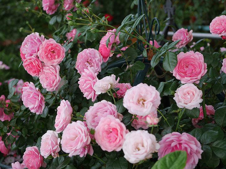 ポンポネッラ(Pomponella)の花が綺麗に咲いた。半ツルバラ。2020年-067.jpg