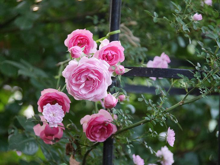 ポンポネッラ(Pomponella)の花が綺麗に咲いた。半ツルバラ。2020年-068.jpg