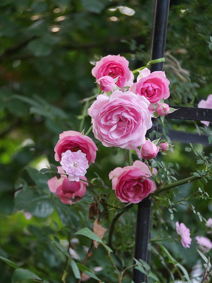 ポンポネッラ(Pomponella)の花が綺麗に咲いた。半ツルバラ。2020年-069.jpg