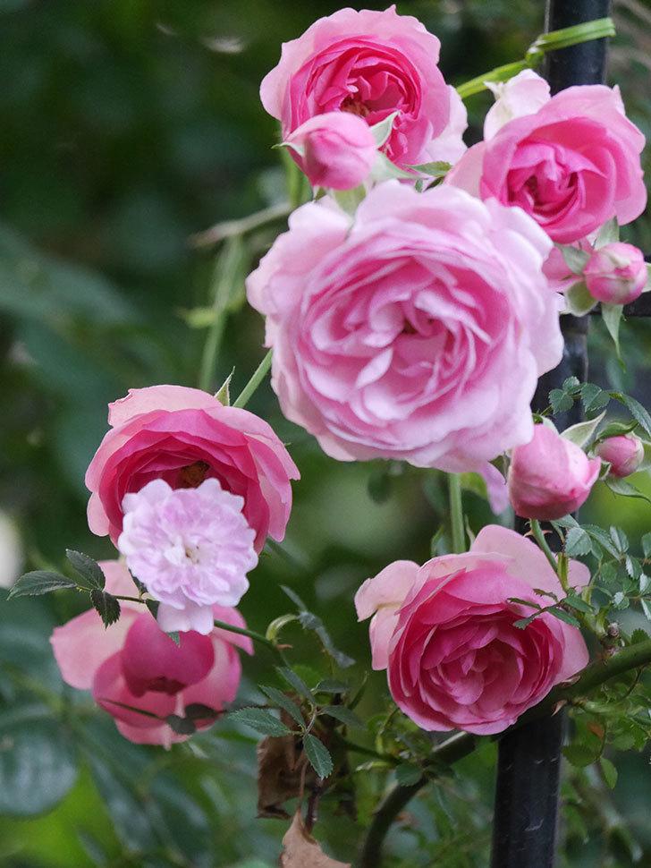 ポンポネッラ(Pomponella)の花が綺麗に咲いた。半ツルバラ。2020年-070.jpg