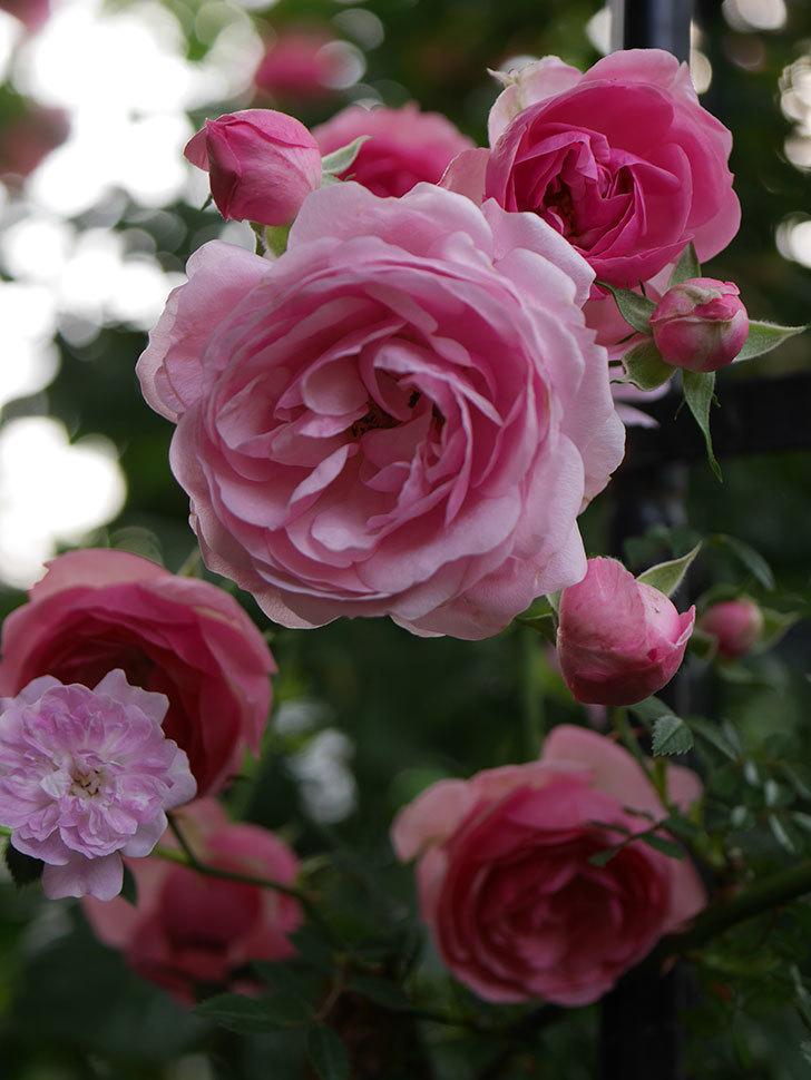 ポンポネッラ(Pomponella)の花が綺麗に咲いた。半ツルバラ。2020年-073.jpg
