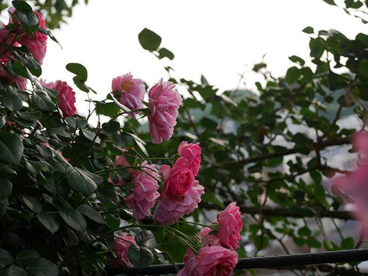 ポンポネッラ(Pomponella)の花が綺麗に咲いた。半ツルバラ。2020年-074.jpg
