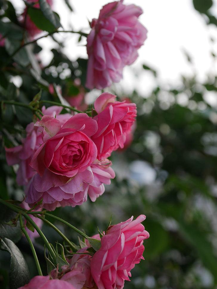 ポンポネッラ(Pomponella)の花が綺麗に咲いた。半ツルバラ。2020年-075.jpg