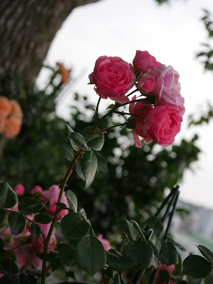 ポンポネッラ(Pomponella)の花が綺麗に咲いた。半ツルバラ。2020年-076.jpg