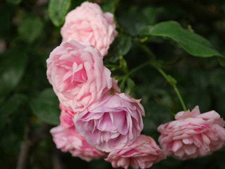 ポンポネッラ(Pomponella)の花が綺麗に咲いた。半ツルバラ。2020年-077.jpg