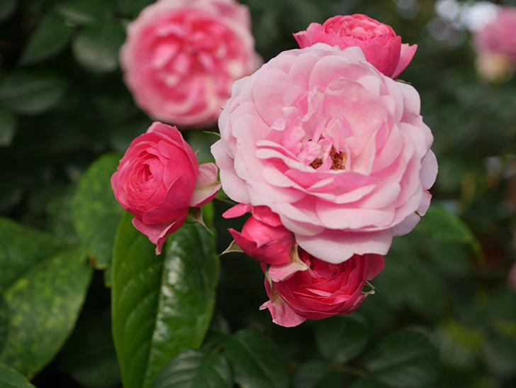 ポンポネッラ(Pomponella)の花が綺麗に咲いた。半ツルバラ。2020年-078.jpg