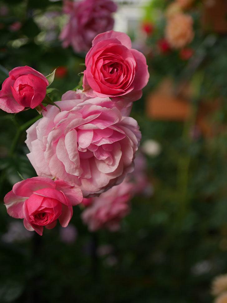 ポンポネッラ(Pomponella)の花が綺麗に咲いた。半ツルバラ。2020年-079.jpg