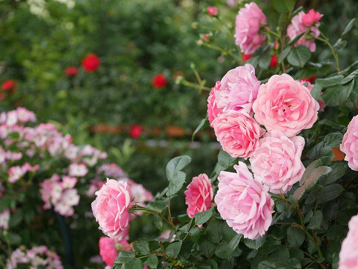 ポンポネッラ(Pomponella)の花が綺麗に咲いた。半ツルバラ。2020年-080.jpg