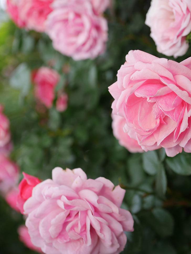 ポンポネッラ(Pomponella)の花が綺麗に咲いた。半ツルバラ。2020年-081.jpg