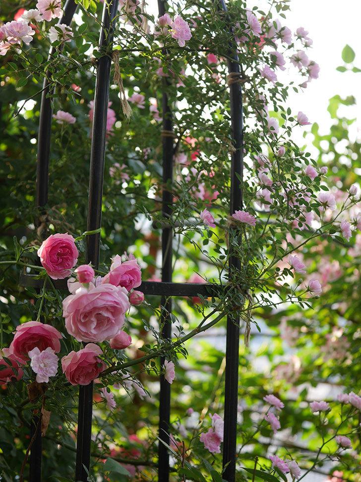 ポンポネッラ(Pomponella)の花が綺麗に咲いた。半ツルバラ。2020年-082.jpg