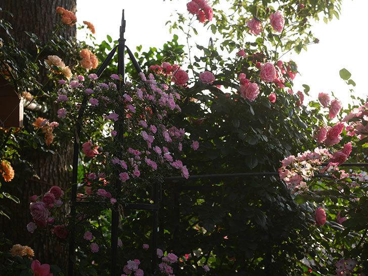 ポンポネッラ(Pomponella)の花が綺麗に咲いた。半ツルバラ。2020年-083.jpg