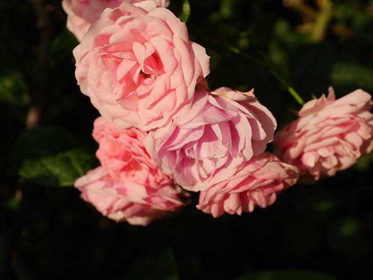 ポンポネッラ(Pomponella)の花が綺麗に咲いた。半ツルバラ。2020年-084.jpg