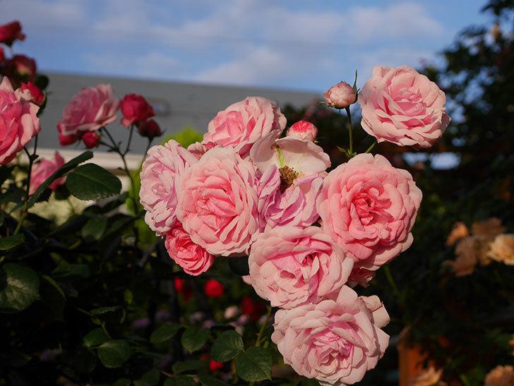 ポンポネッラ(Pomponella)の花が綺麗に咲いた。半ツルバラ。2020年-085.jpg