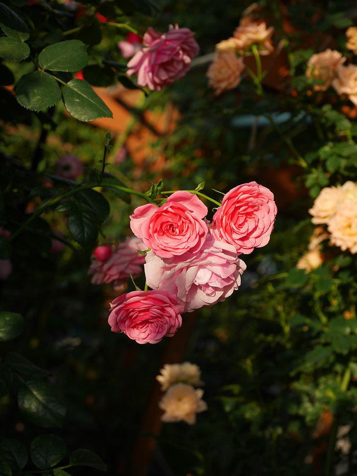 ポンポネッラ(Pomponella)の花が綺麗に咲いた。半ツルバラ。2020年-086.jpg