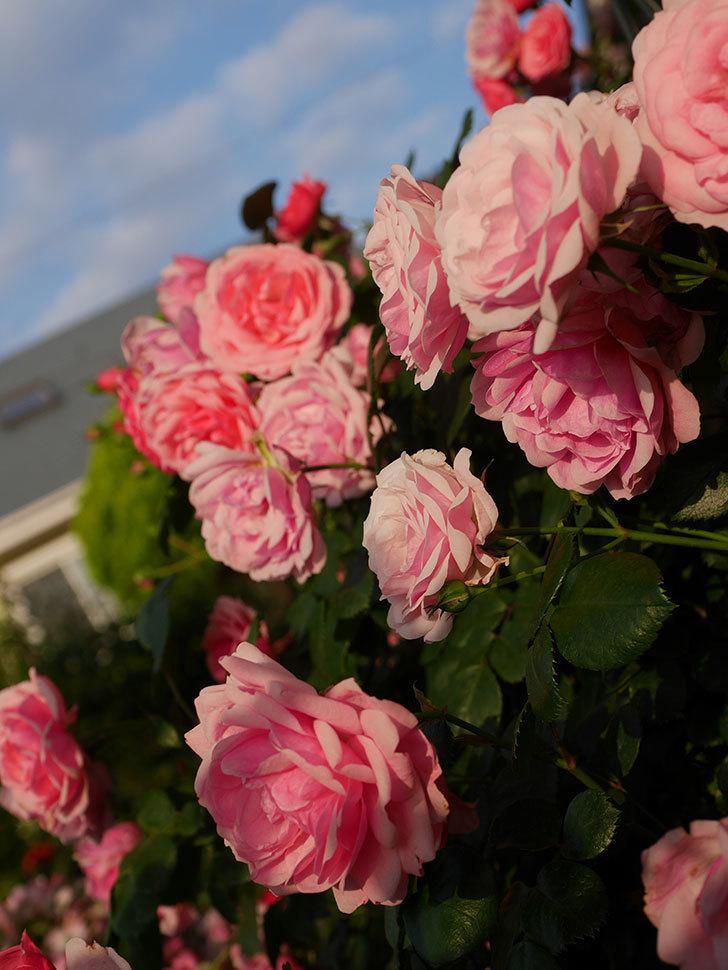 ポンポネッラ(Pomponella)の花が綺麗に咲いた。半ツルバラ。2020年-089.jpg