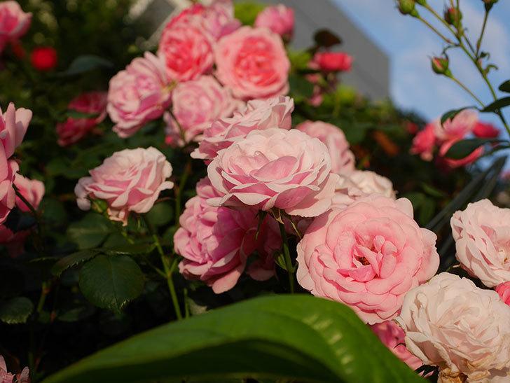 ポンポネッラ(Pomponella)の花が綺麗に咲いた。半ツルバラ。2020年-090.jpg