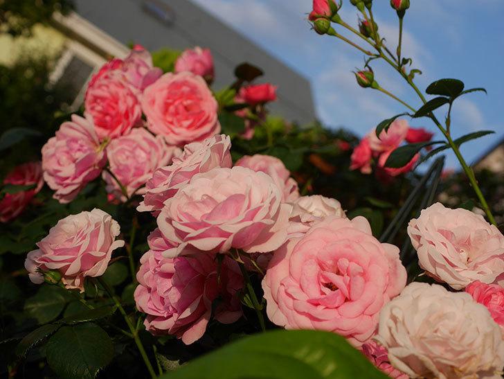 ポンポネッラ(Pomponella)の花が綺麗に咲いた。半ツルバラ。2020年-091.jpg