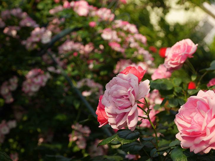 ポンポネッラ(Pomponella)の花が綺麗に咲いた。半ツルバラ。2020年-093.jpg