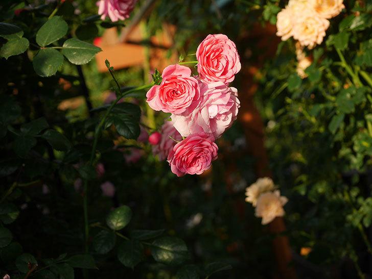 ポンポネッラ(Pomponella)の花が綺麗に咲いた。半ツルバラ。2020年-094.jpg