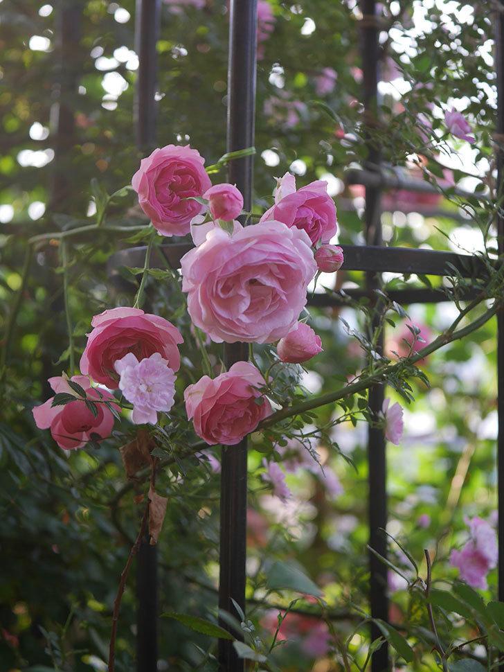 ポンポネッラ(Pomponella)の花が綺麗に咲いた。半ツルバラ。2020年-095.jpg