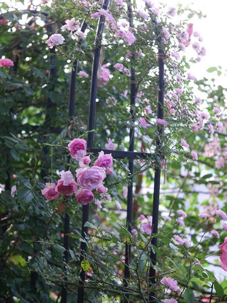 ポンポネッラ(Pomponella)の花が綺麗に咲いた。半ツルバラ。2020年-096.jpg