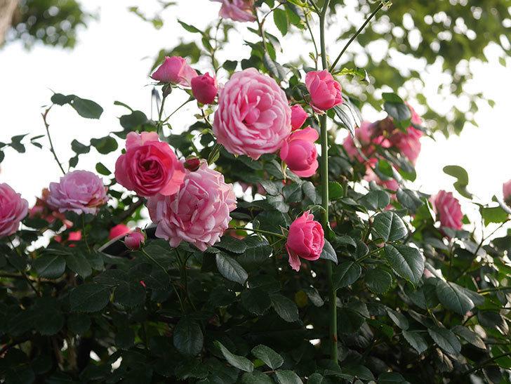 ポンポネッラ(Pomponella)の花が綺麗に咲いた。半ツルバラ。2020年-097.jpg