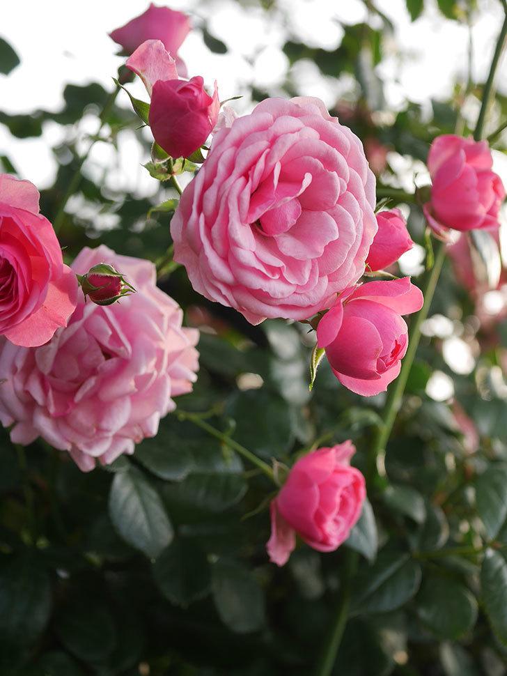 ポンポネッラ(Pomponella)の花が綺麗に咲いた。半ツルバラ。2020年-098.jpg