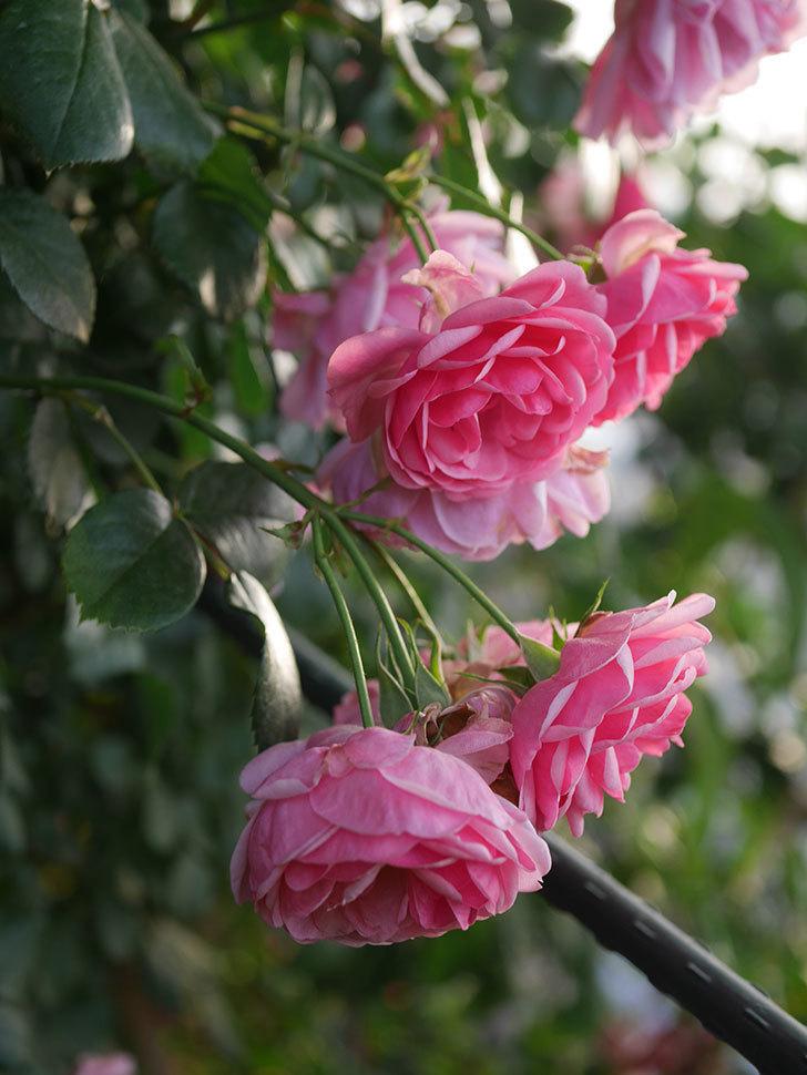 ポンポネッラ(Pomponella)の花が綺麗に咲いた。半ツルバラ。2020年-099.jpg