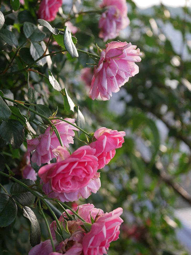 ポンポネッラ(Pomponella)の花が綺麗に咲いた。半ツルバラ。2020年-100.jpg
