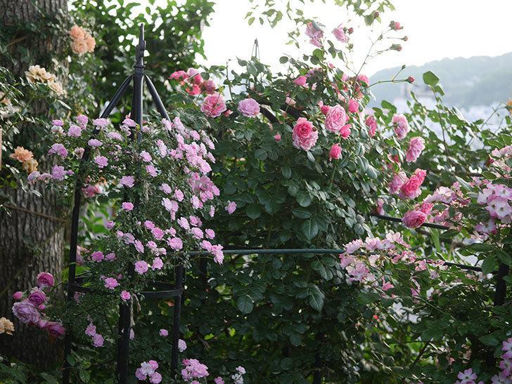 ポンポネッラ(Pomponella)の花が綺麗に咲いた。半ツルバラ。2020年-101.jpg